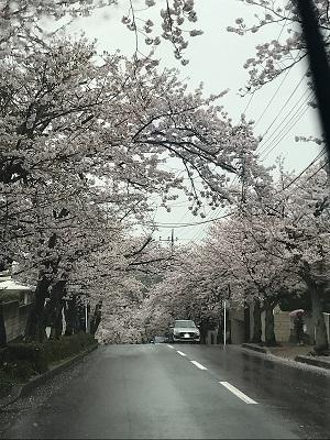 ハイランド_桜3.JPG