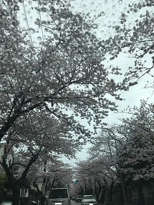 ハイランド_桜2.JPG