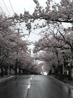 ハイランド_桜4.JPG