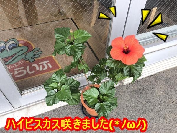 【茅ヶ崎】ハイビスカス咲きました!!